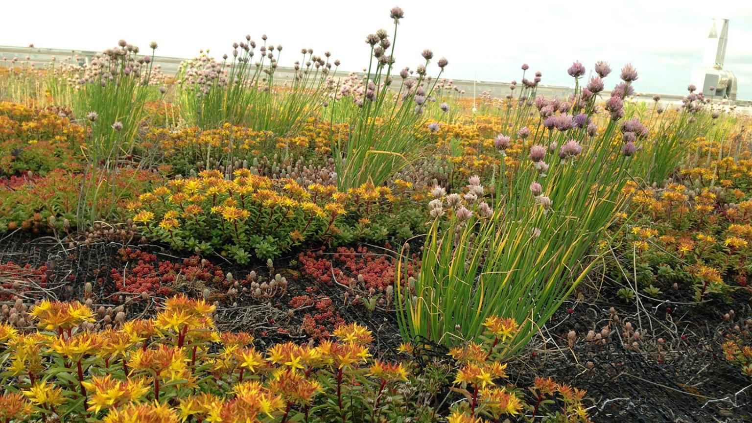 Green roof with lots of yellow and purple flowers on top of the Children & Women's hospital